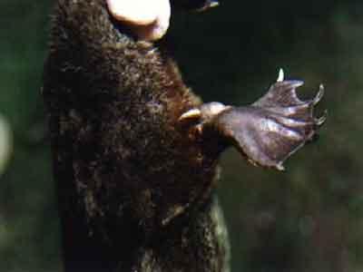 Patas de um ornitorrinco com esporos venenosos
