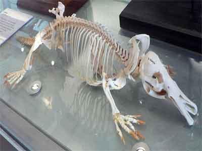 Esqueleto de um ornitorrinco
