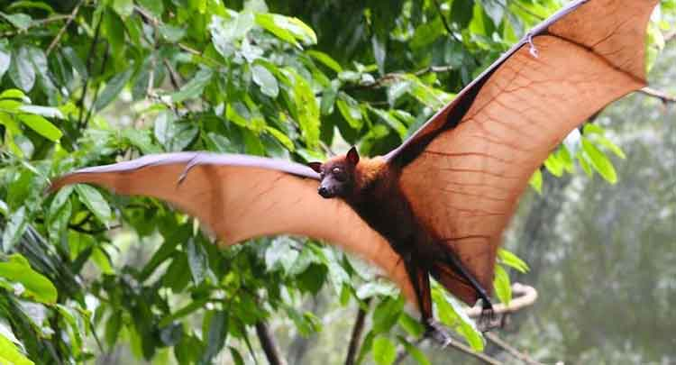 Morcego gigante da india