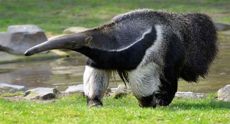 tamanduá