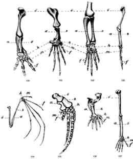 O membro anterior de todos os vertebrados tem uma estrutura homóloga.