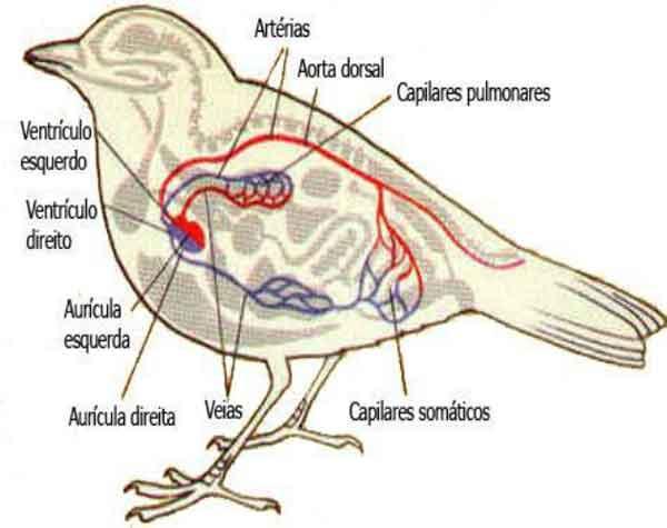 Sistema circulatório de uma ave